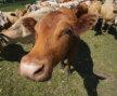 Livestock Loans