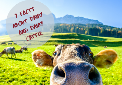 7 Facts About Milk and Dairy Cattle
